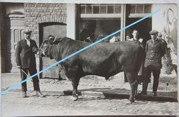 Photo ANZEGEM Naast Wortegem Waregem Vichte Kaster Oudenaarde Circa 1920 Taureau Taurus Stier Tauro - Places