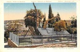 Israel Hebron Abraham's Oak Tree, Roble Querccia Chene Eiche - Israel