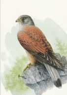 BUZIN. FAUCON CRECERELLE - 1985-.. Birds (Buzin)