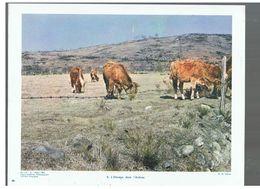 L'élevage Dans L'Aubrac D.P. N°114 G De Mars 1964 Photo N°6 - Reproductions