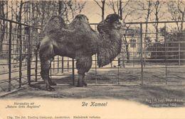 AMSTERDAM (NH) Dierentuin Zoo - De Kameel - Amsterdam