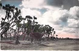 Afrique Noire - DJIBOUTI : Palmeraie D'AMBOULI - CPSM Dentelée Colorisée Format CPA - Black Africa - Djibouti