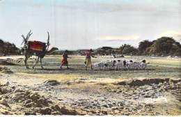 Afrique Noire - DJIBOUTI :  Le Retour Du Dann - Jolie CPSM Dentelée Colorisée Format CPA - Black Africa - Djibouti