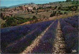 PROVENCE - CPM Culture De La Lavande En Provence - Provence-Alpes-Côte D'Azur