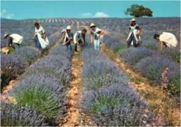 PROVENCE - CPM La Cueillette De La Lavande - Provence-Alpes-Côte D'Azur