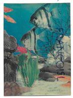 Poissons Anges En Aquarium. - Cartes Stéréoscopiques