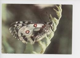 Papillon - Parnassius Apollo - Apollo - Apollon - Insectos