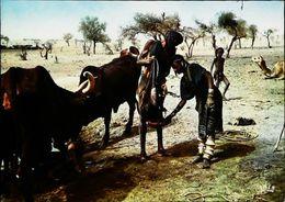 Niger  Scène  De Vie Bororos à Tilia N°  7045 - Niger