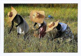 Sénégal Cadamance Cueillette Du Riz - Senegal