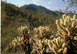 TEDDY BEAR CHOLLA - Cactus