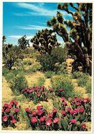 BEAVERTAIL CACTUS - Cactus