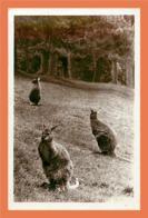 A226 / 539 Kangourou - Parc Zoologique De CLERES - Animaux & Faune