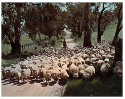 (A 36) Australia - NSW - Adaminaby (sheep Farming) - Altri
