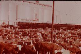 Photo Diapo Diapositive Slide USA ETATS UNIS N°18 Ranch Au TEXAS Bétail Vaches VOIR ZOOM - Diapositives