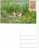 Baby Owls,  Maxi-card Of Norfolk Island (Pacific Ocean) - Owls