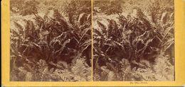 Stereo Ferns, Fougères,Farne, No.102 - Visionneuses Stéréoscopiques