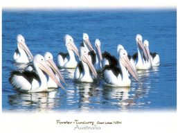 (B 5) Australia - NSW - Forster Tuncurry And Pelicans - Altri