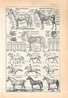 Cheval. Stampa 1954 - Vieux Papiers