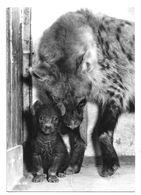 ANIMAL – HYENE : Zoologischer Garten Zurich – Tüpfel-hyänemitJungen N° 333 - Tierwelt & Fauna