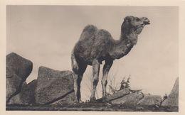 RP: Rome , Italy , 1910s ; ZOO ; Dromedario / Camel - Animaux & Faune