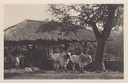 RP: Rome , Italy , 1910s ; ZOO ; Zebu - Bibos Indicus - Animaux & Faune