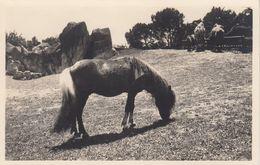 RP: Rome , Italy , 1910s ; ZOO ; Poney Del Shetland - Chevaux