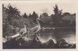 RP: Rome , Italy , 1910s ; ZOO ; Pellicani - Oiseaux
