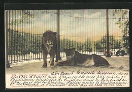 AK Basel, Zoologischer Garten, Löwenpaar Im Käfig - Tigres