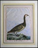 Der Gänsevogel (le Brenta Helsingen), Kolorierter Kupferstich Von Olafsen Aus Atlas Du Voyage En Islande Von 1802 - Litografía