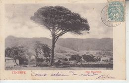 TENERIFE - Pino Canariense - Tenerife