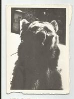 Dancing Bear- Za574 -362 - Fotos