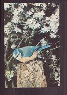 MESANGE BLEUE - Oiseaux
