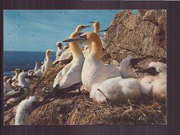 COUVEE DE FOUS DE BASSAN - Oiseaux