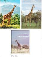 3 Cards - Giraffe - Giraffen - Giraf - Giraff - Animal - Girafes