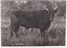CPM : Tauromachie Saint Gilles (30) Taureau  Sympathique ! Lou San Gillen   Cliché Léon Violet     1954 - Corrida