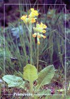 CPSM   Primevère  (1996-pierron) - Flores, Plantas & Arboles