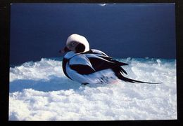 Greenland Birds  Cards ( Lot 383 ) - Groenlandia