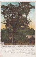 Chêne De Takovo - Serbie
