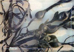 CPSM   Fucus  (1996-pierron) - Flores, Plantas & Arboles