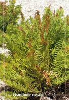CPSM   Osmonde Royale   (1996-pierron) - Flores, Plantas & Arboles