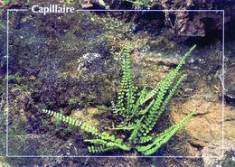 CPSM   Capillaire   (1996-pierron) - Flores, Plantas & Arboles
