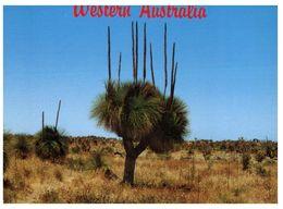 (B 18) Australia - Black Boy Tree - Árboles