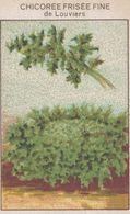 CHROMO - IMAGE  LEGUME  CHICOREE FRISEE FINE DE LOUVIERS - Trade Cards