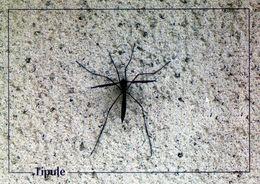 CPSm   Tipule (1996-pierron) - Insectos