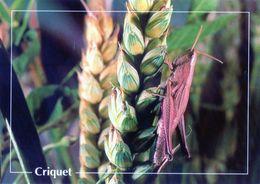 CPSm   Criquet  (1996-pierron) - Insectos