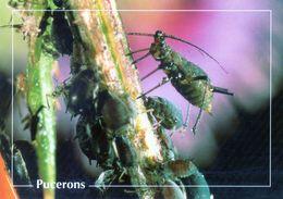 CPSm    Pucerons  (1996-pierron) - Insectos
