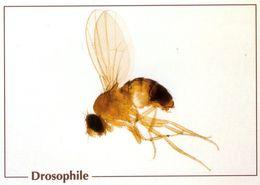 CPSm    Drosophile  (1996-pierron) - Insectos