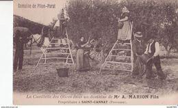 SAINT CANNAT AIX EN PROVENCE DOMAINE PILON PARAT CUEILLETT DES OLIVES PETIT MÉTIER TRES ANIMÉES CPA BON ÉTAT - Aix En Provence