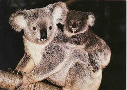 Australia, Koala Mother And Baby,  Unused - Osos