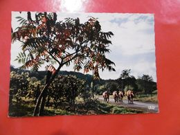 D 19 - En Correze - Le Retour Du Troupeau - Vache - Francia
